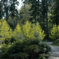 Brilliant Metasequoia glyptrostroboides 'Gold Rush' illuminates this tree-lined drive, Bainbridge Island