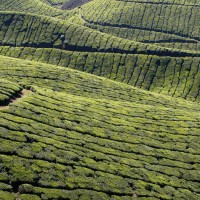 Teafields in the Nilgiri Hills, southern India, sculpted by centuries of cultivation
